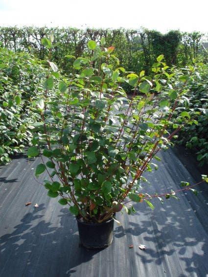 Kornoelje (Cornus alba 'Sibirica')-Plant in pot-30/40 cm. Kleur: wit