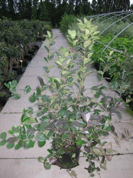 Appelbes (Aronia prunifolia 'Viking') - 30/40 cm.. Kleur: wit