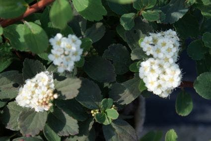 Spierstruik (Spiraea betufolia 'Tor') - 30/40 cm.. Kleur: wit