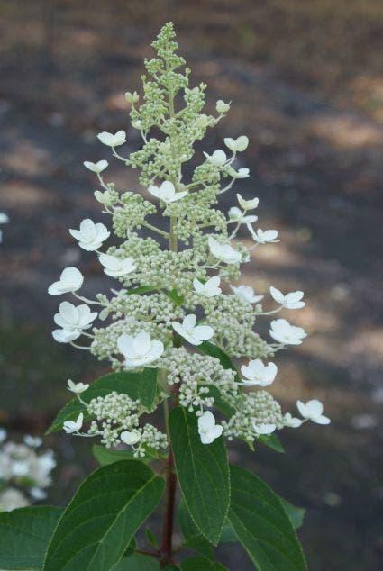 Pluimhortensia (Hydrangea paniculata 'Tardiva') - 40/50 cm.. Kleur: wit