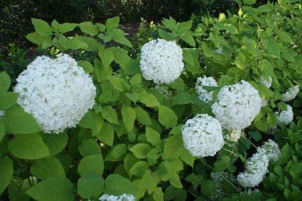 Hortensia (Hydrangea arborescens 'Grandiflora')-Plant in pot-60/80 cm. Kleur: wit