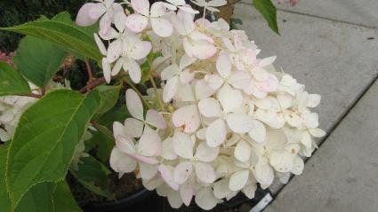 Hortensia (Hydrangea paniculata 'Grandiflora') - 40/50 cm.. Kleur: wit