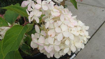 Hortensia (Hydrangea paniculata 'Grandiflora') - 80/100 cm.. Kleur: wit