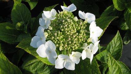 Hortensia (Hydrangea macrophylla 'Teller White') - 25/30 cm.. Kleur: wit