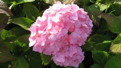 Hortensia (Hydrangea macrophylla 'Bouquet Rose') - 30/40 cm.. Kleur: roze