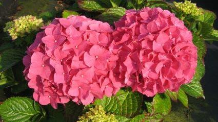 Hortensia (Hydrangea macrophylla 'Alpengluhen') - 25/30 cm.. Kleur: roze