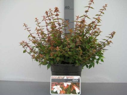 Abelia (Abelia grandiflora 'Sherwood') - 20/25 cm.