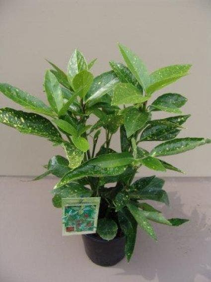 Broodboom (Aucuba japonica 'Variegata') - 30/40 cm.