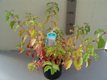 Kornoelje (Cornus sanguinea 'Winter Beauty) - 30/40cm. Kleur: wit