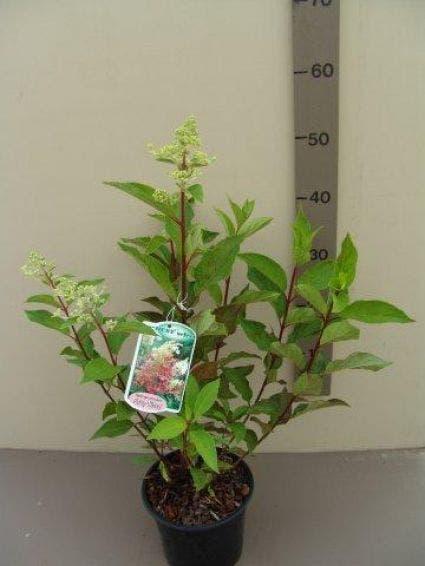 Pluimhortensia (Hydrangea paniculata 'Pinky Winky') - 25/30 cm.
