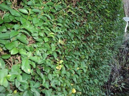 Ligusterhaag (Ligustrum ovalifolium) - 60/80 cm.. Kleur: wit
