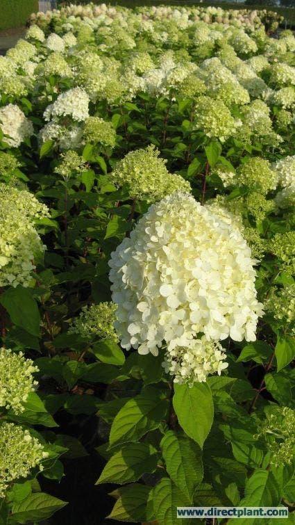 Pluimhortensia (Hydrangea paniculata 'Limelight'®) - 30/40 cm.. Kleur: wit