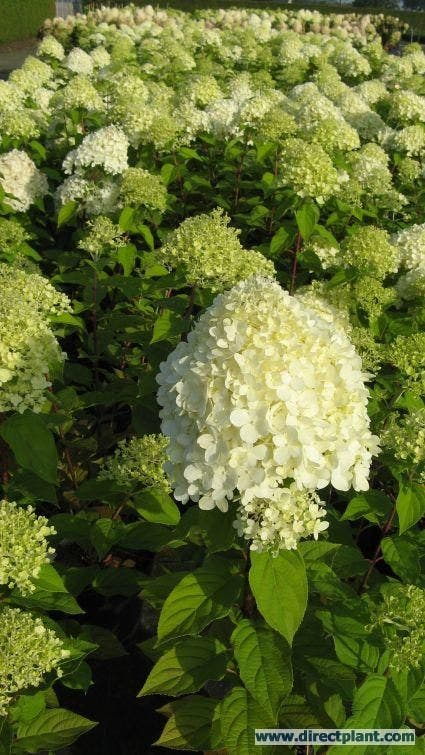 Pluimhortensia (Hydrangea paniculata 'Limelight'®) - 25/30 cm. Kleur: wit