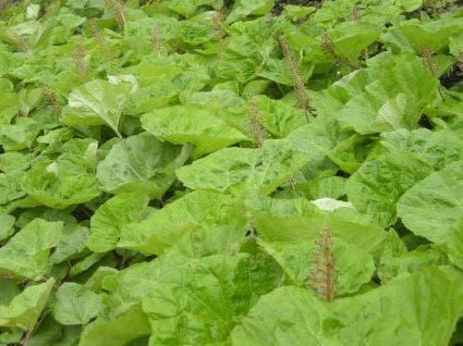 Groot hoefblad (Petasites hybridus)-Plant in pot-C2
