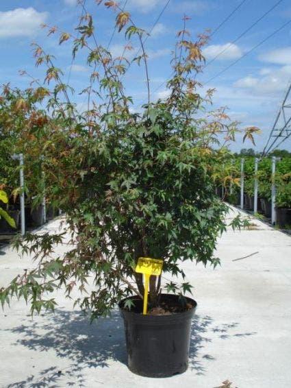 Japanse esdoorn (Acer palmatum) - 125/150 cm