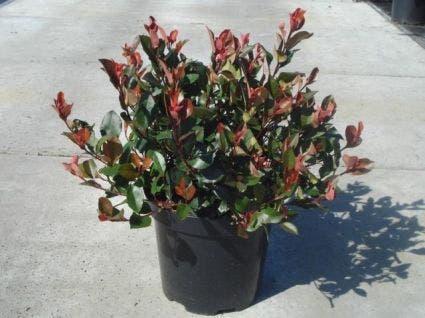 Glansmispel (Photinia fraseri 'Little Red Robin')-Plant in pot-30/40 cm. Kleur: wit