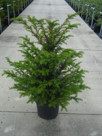 Taxushaag (Taxus baccata) - 100/125 cm.
