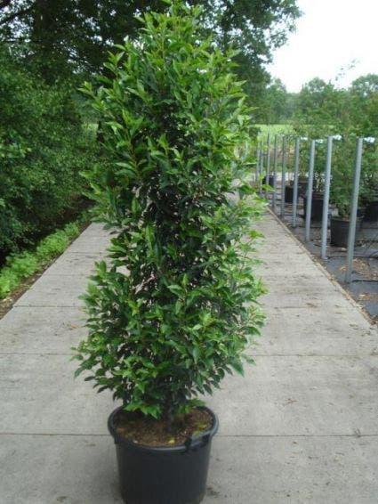 Portugese laurier (Prunus lusitanica 'Angustifolia') - 100/125 cm.. Kleur: wit