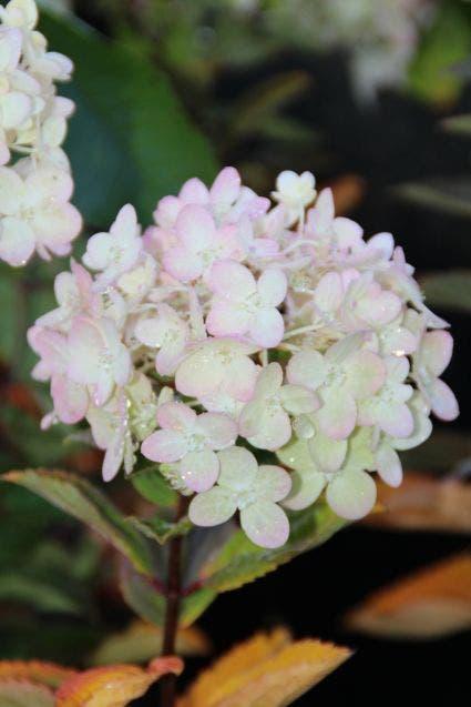 Pluim Hortensia (Hydrangea paniculata 'Bombshell') - 30/40 cm.. Kleur: wit