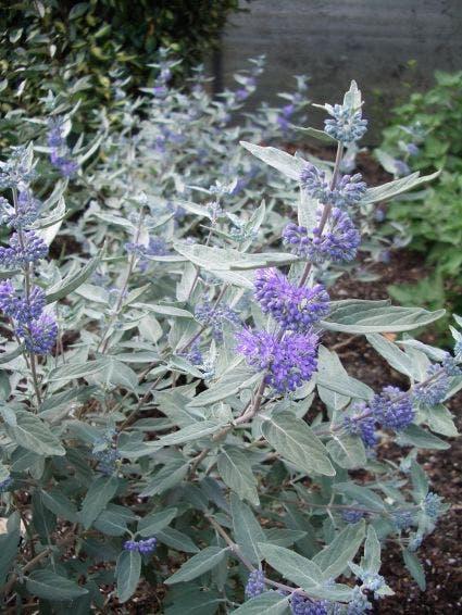 Caryopteris (Caryopteris x clandonensis 'Sterling Silver')-Plant in pot-60/80 cm. Kleur: blauw