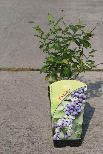 Blauwe bes (Vaccinium corymbosum 'Bluecrop')-Plant in pot-50/60 cm. Kleur: wit