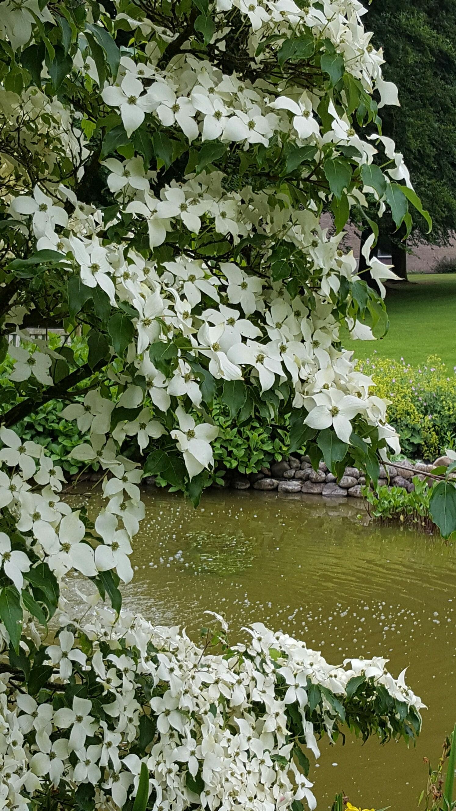 Kornoelje (Cornus kousa 'China Girl')-Plant in pot-200/250 cm. Kleur: wit