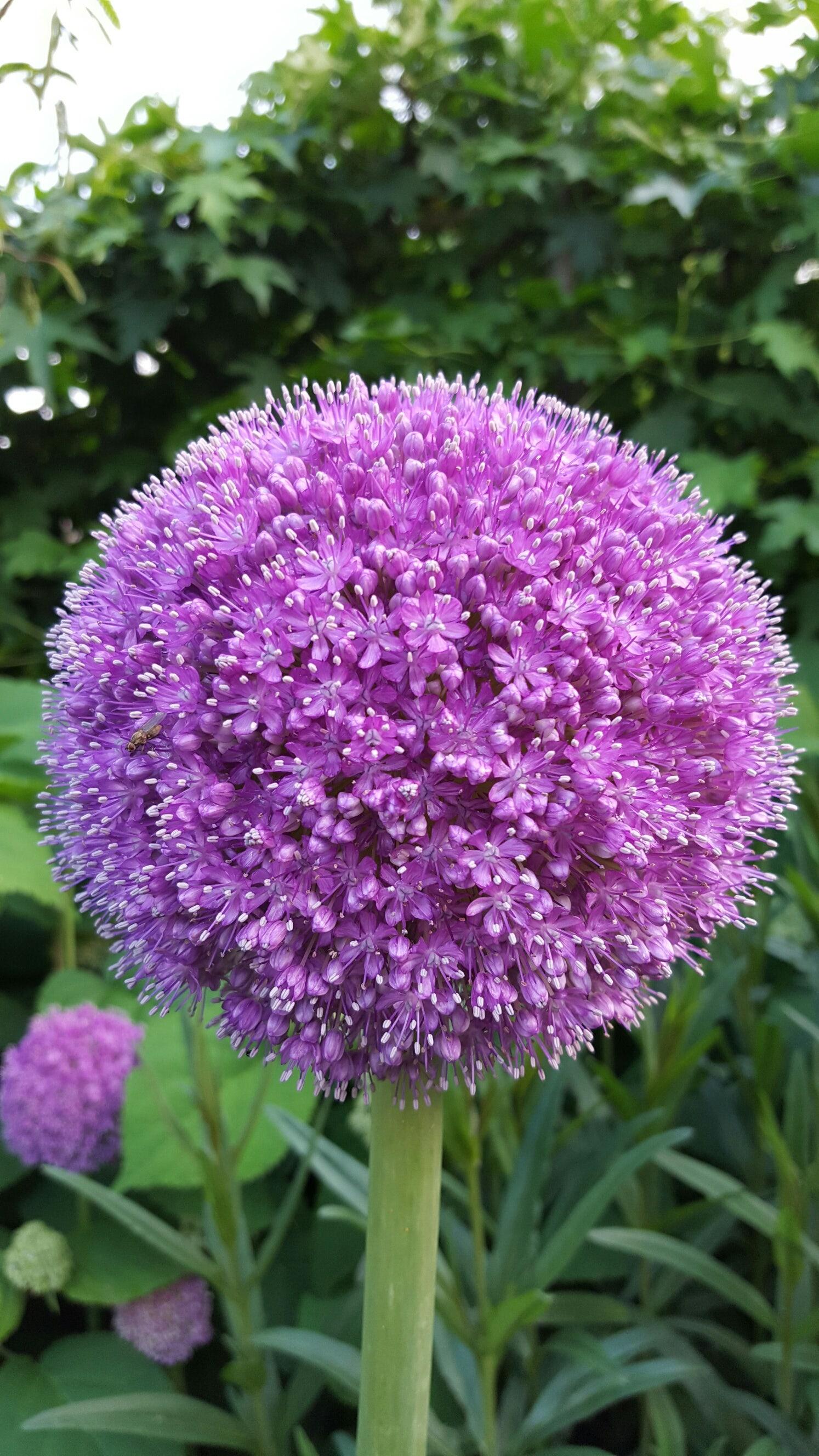 Sierui (Allium giganteum). Kleur: paars