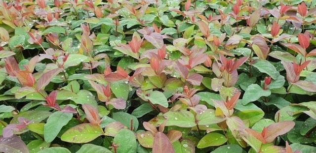 Hertshooi (Hypericum 'Albury Purple')-Plant in pot-20/25 cm. Kleur: geel