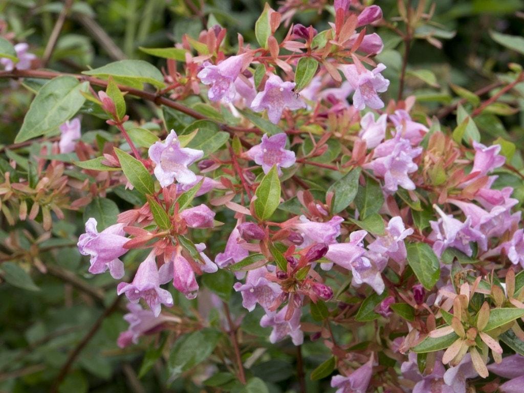 Abelia (Abelia grandiflora 'Edward Goucher')-Plant in pot-30/40 cm