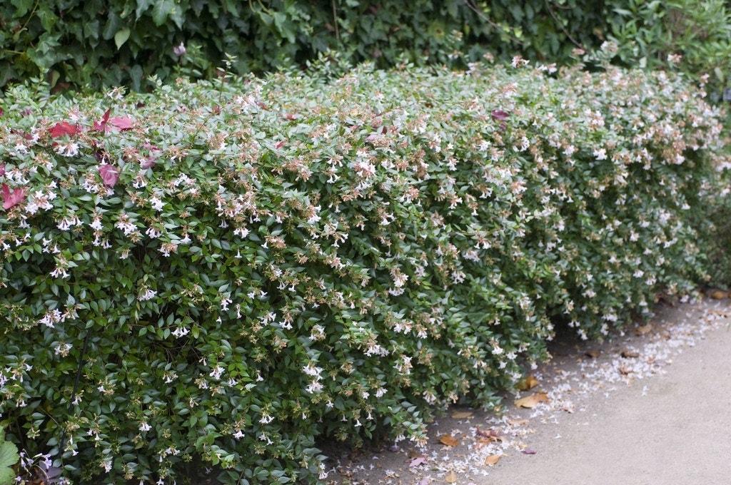 Abelia (Abelia grandiflora)-Plant in pot-175/200 cm
