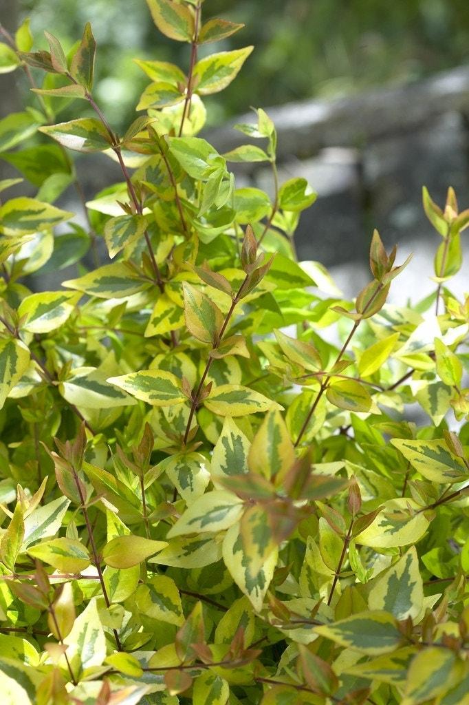 Abelia (Abelia grandiflora 'Kaleidoscope')-Plant in pot-25/30 cm. Kleur: wit
