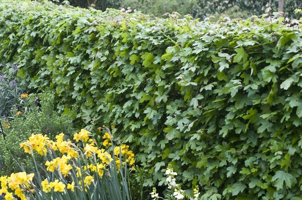 Veldesdoorn als haag (Acer campestre)-Plant uit volle grond-200/225 cm