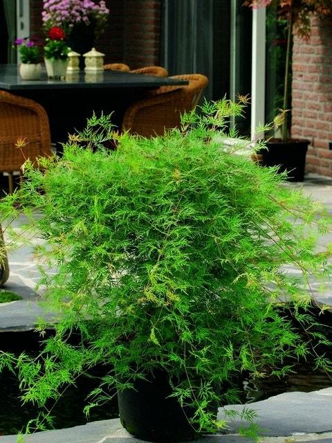 Japanse esdoorn (Acer palmatum 'Emerald Lace')-Plant in pot-200/250 cm