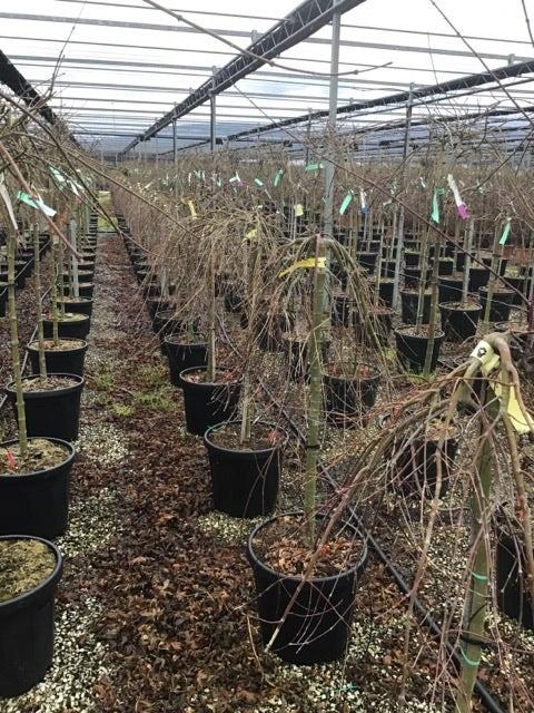 Japanse esdoorn op stam (Acer palmatum 'Ryusen')-Plant in pot-50 cm stam
