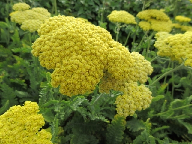 Duizendblad (Achillea 'Moonshine')-Plant in pot-C2. Kleur: geel
