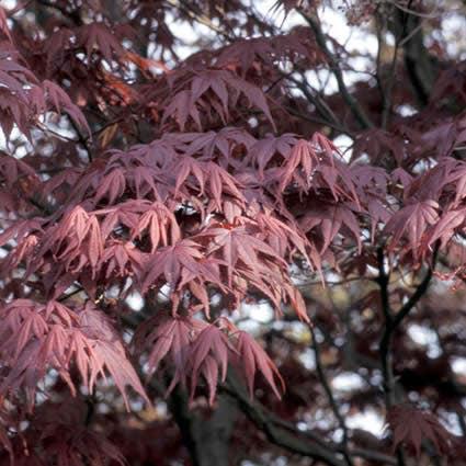 Japanse esdoorn (Acer palmatum 'Bloodgood') - 100/125 cm.