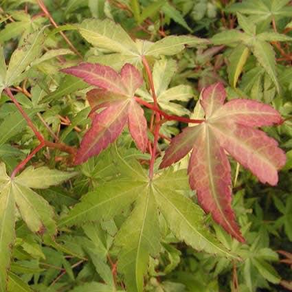 Japanse esdoorn (Acer palmatum 'Katsura')-Plant in pot-100/125 cm
