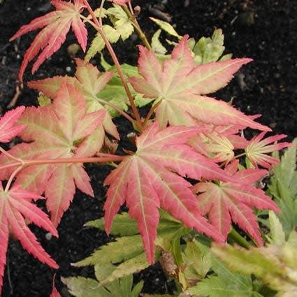 Japanse esdoorn (Acer palmatum 'Orange Dream')-Plant in pot-150/175 cm