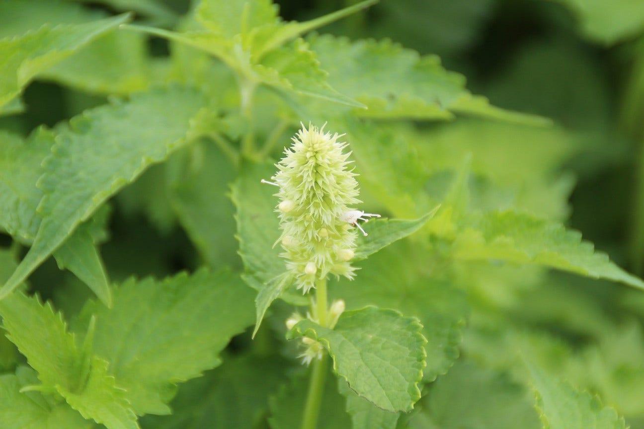 Dropplant (Agastache rugosa 'Alabaster') - P9. Kleur: wit