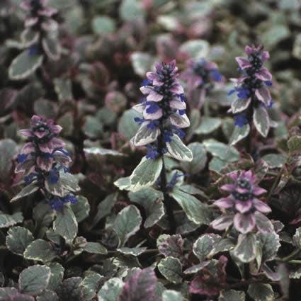 Zenegroen (Ajuga reptans 'Burgundy Glow')-Plant in pot-C2. Kleur: blauw