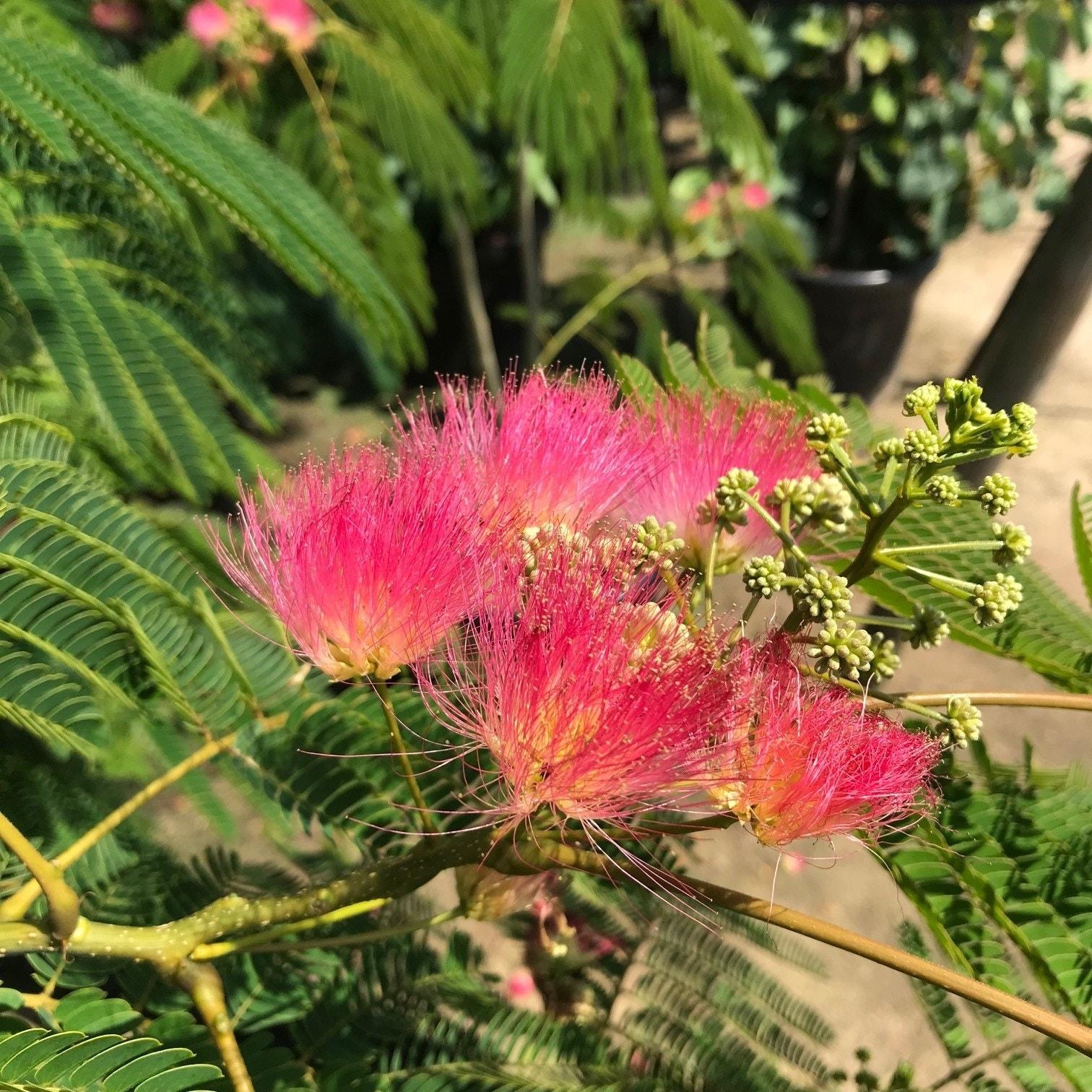 Perzische Slaapboom als struik (Albizia julibrissin 'Ombrella')-Plant in pot-30/40 cm. Kleur: roze