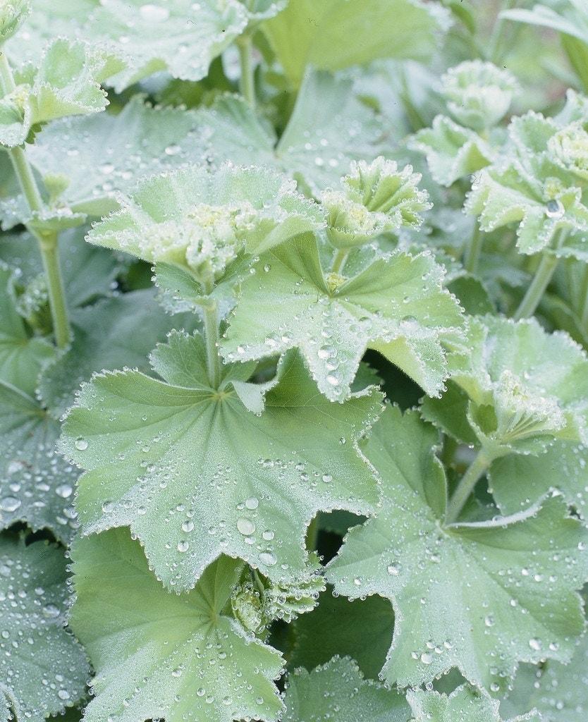 Vrouwenmantel (Alchemilla mollis)-Plant in pot-C2