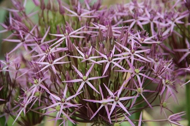 Sierui - (Allium Albopilosum 'Christophii') per 5. Kleur: roze