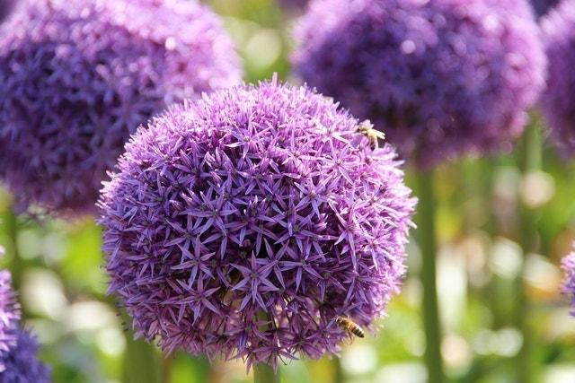 Sierui (Allium 'Globemaster'®)-Plant in pot-C3. Kleur: paars
