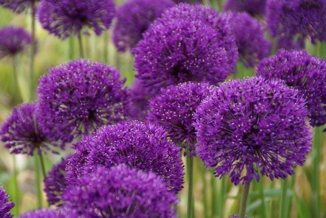Sierui (Allium 'Purple Sensation') P9. Kleur: paars