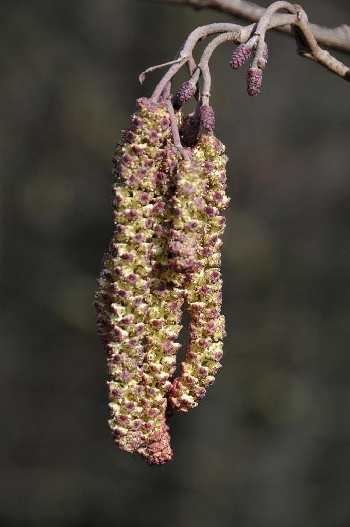 Zwarte els (Alnus glutinosa)-Plant in pot-100/125 cm