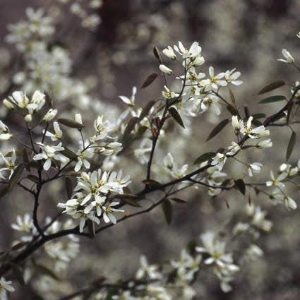 Krentenboom (Amelanchier lamarckii) - 50/60 cm.. Kleur: wit