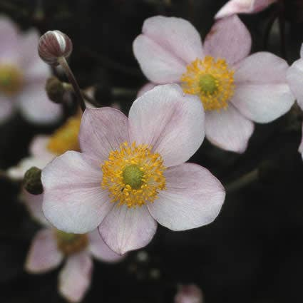 Anemoon (Anemone hupehensis 'September Charm'). Kleur: roze