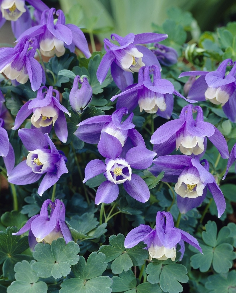"Akelei (Aquilegia flabellata 'Ministar'). Kleur: [""blauw"", ""paars""]"