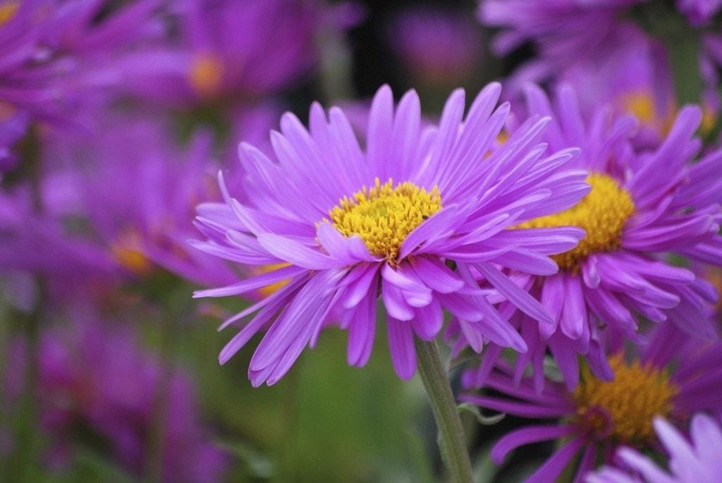 Aster (Aster alpinus 'Happy End'). Kleur: roze